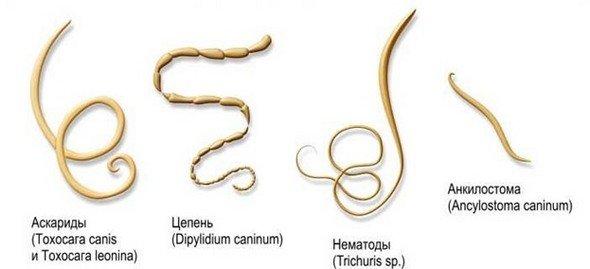 Глисты (гельминты): симптомы и лечение