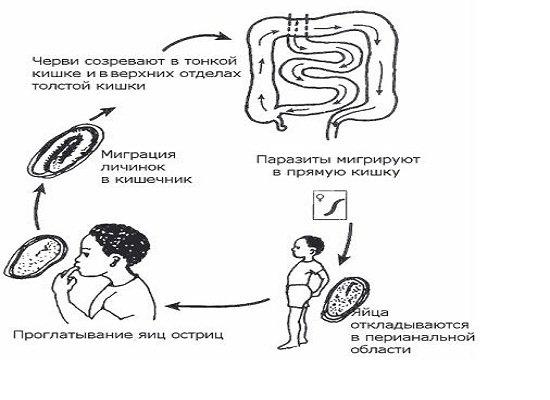 Энтеробиоз — симптомы и лечение
