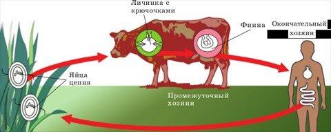 Тениаринхоз бычий цепень — симптомы и лечение