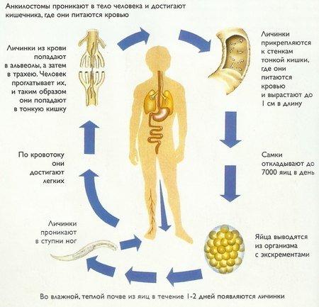 Анкилостомидоз — симптомы и лечение