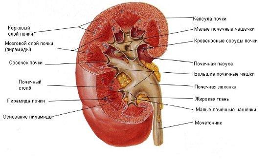 Пиелонефрит — симптомы и лечение