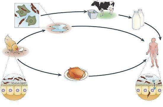 Кампилобактериоз — симптомы и лечение