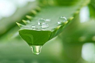 Применение алоэ в лечении псориаза Aloe vera