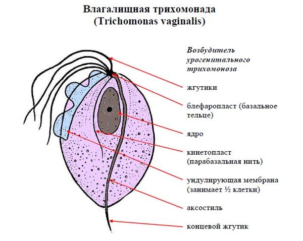 Трихомониаз у женщин – симптомы и лечение, фото и видео.