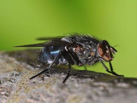 Личинки мясных мух помогли найти новое средство против инфекций