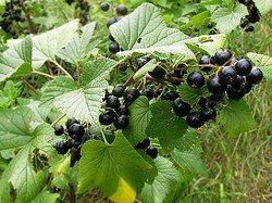 Смородины черной плоды — инструкция по применению, цена