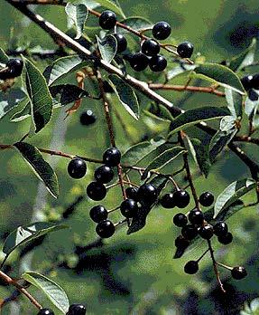 Черемухи плоды — инструкция по применению, цена