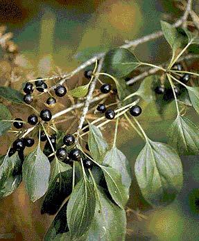 Жостера слабительного плод — инструкция по применению, цена