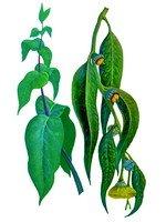 Эвкалипта лист — инструкция по применению, цена