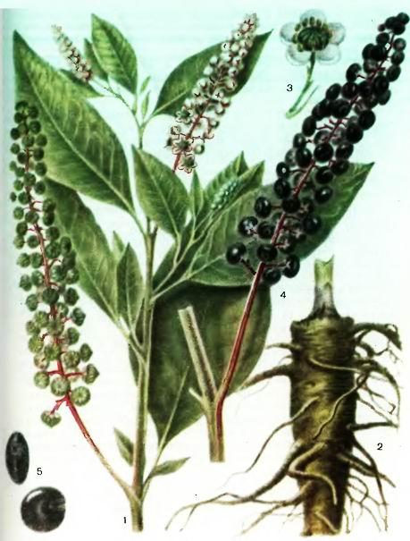 Листья красавки — инструкция по применению, цена