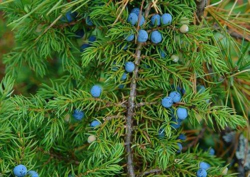 Можжевельника плоды — инструкция по применению, цена