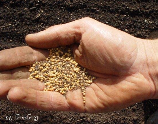 Горчицы семя — инструкция по применению, цена