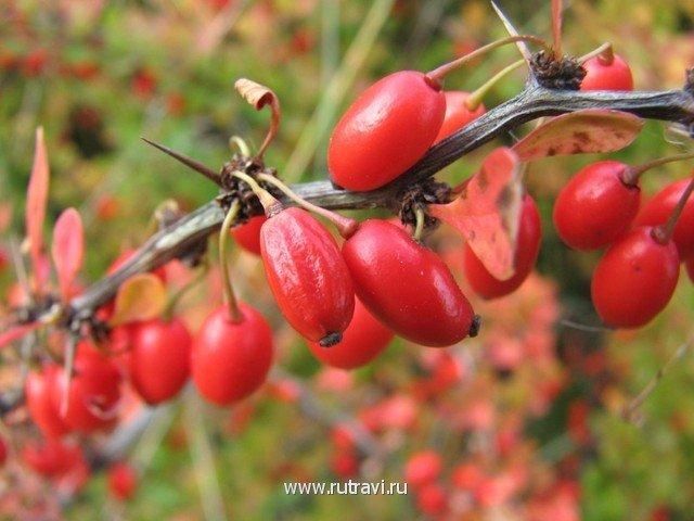 Барбариса обыкновенного листьев настойка — инструкция по применению, цена