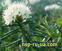 Багульника болотного трава — инструкция по применению, цена
