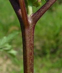 Дурмана листья — инструкция по применению, цена