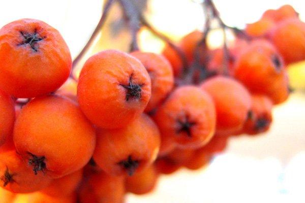 Рябины плоды — инструкция по применению, цена