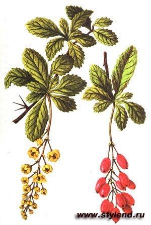 Настойка из листьев барбариса амурского — инструкция по применению, цена