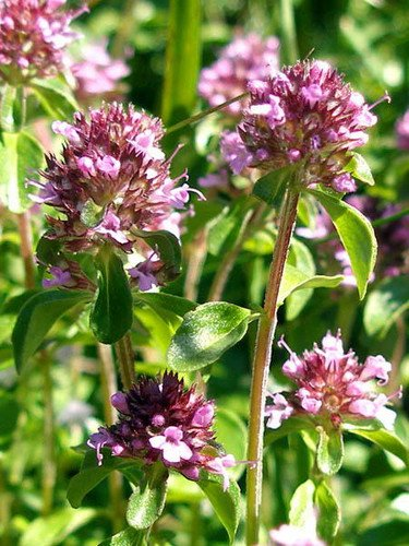 Чабреца трава — инструкция по применению, цена