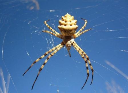 Ядовитый паук помогает ученым