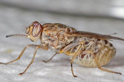 Ученые разгадали многолетнюю загадку паразитов сонной болезни