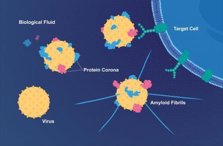 Слой белков делает вирусы более заразными и связывает их с болезнью Альцгеймера