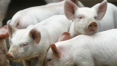 Кожу генетически модифицированной свиньи впервые применили для лечения ожогов у человека